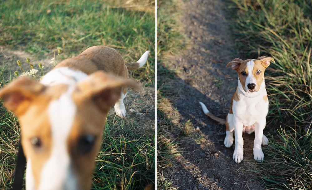 australian-shepherd-pit-bull-puppy-1.jpg