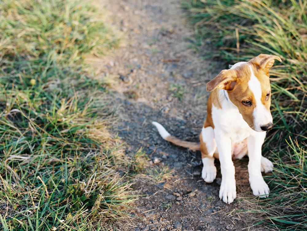 australian-shepard-puppy-3.jpg
