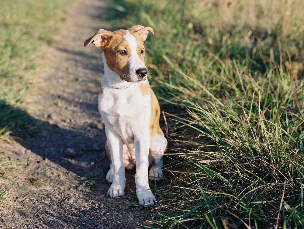 australian-shepard-puppy-5.jpg