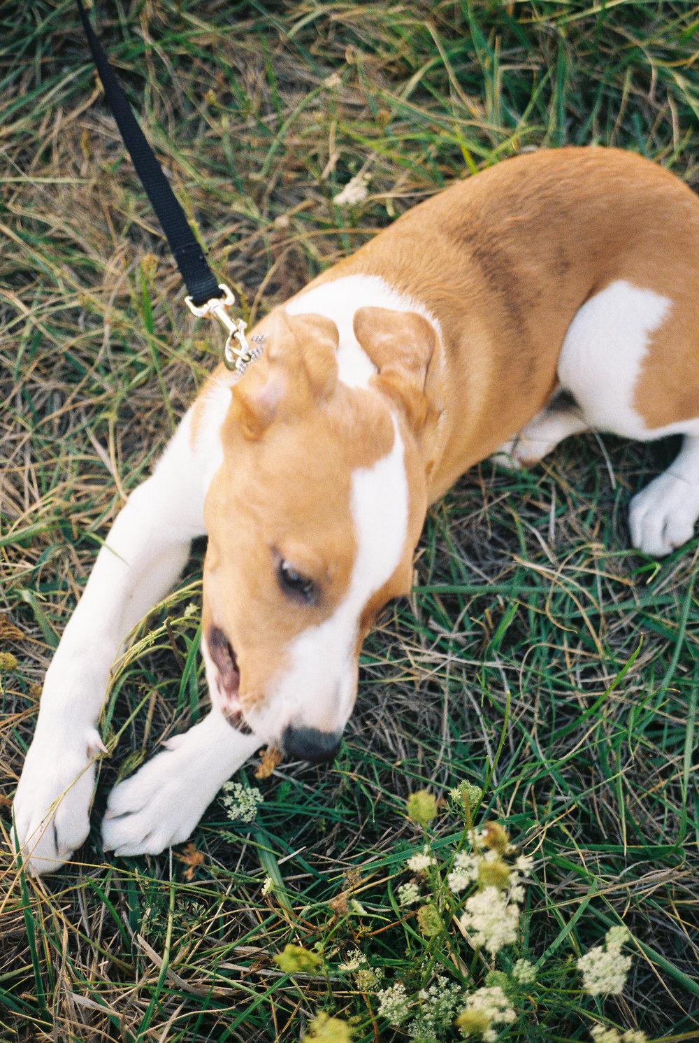 australian-shepard-puppy-13.jpg