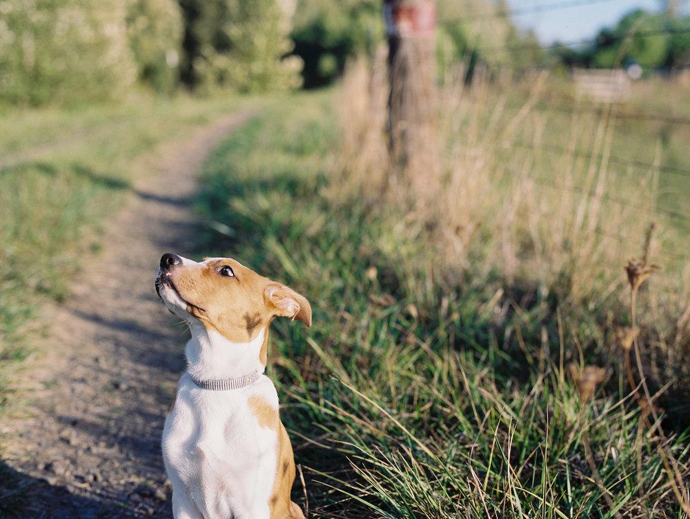 australian-shepard-puppy-7.jpg