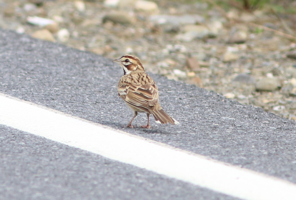 "Lark Sparrow, "" Chondestes grammacus."" The white tips on its tail made it distinct even when in flight."