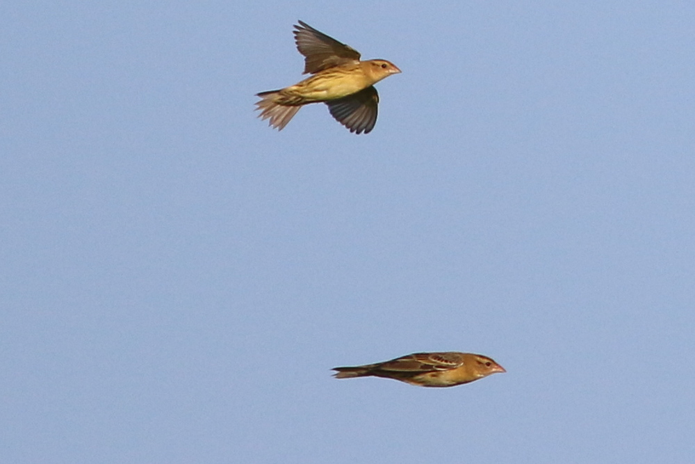 Bobolinks in flight