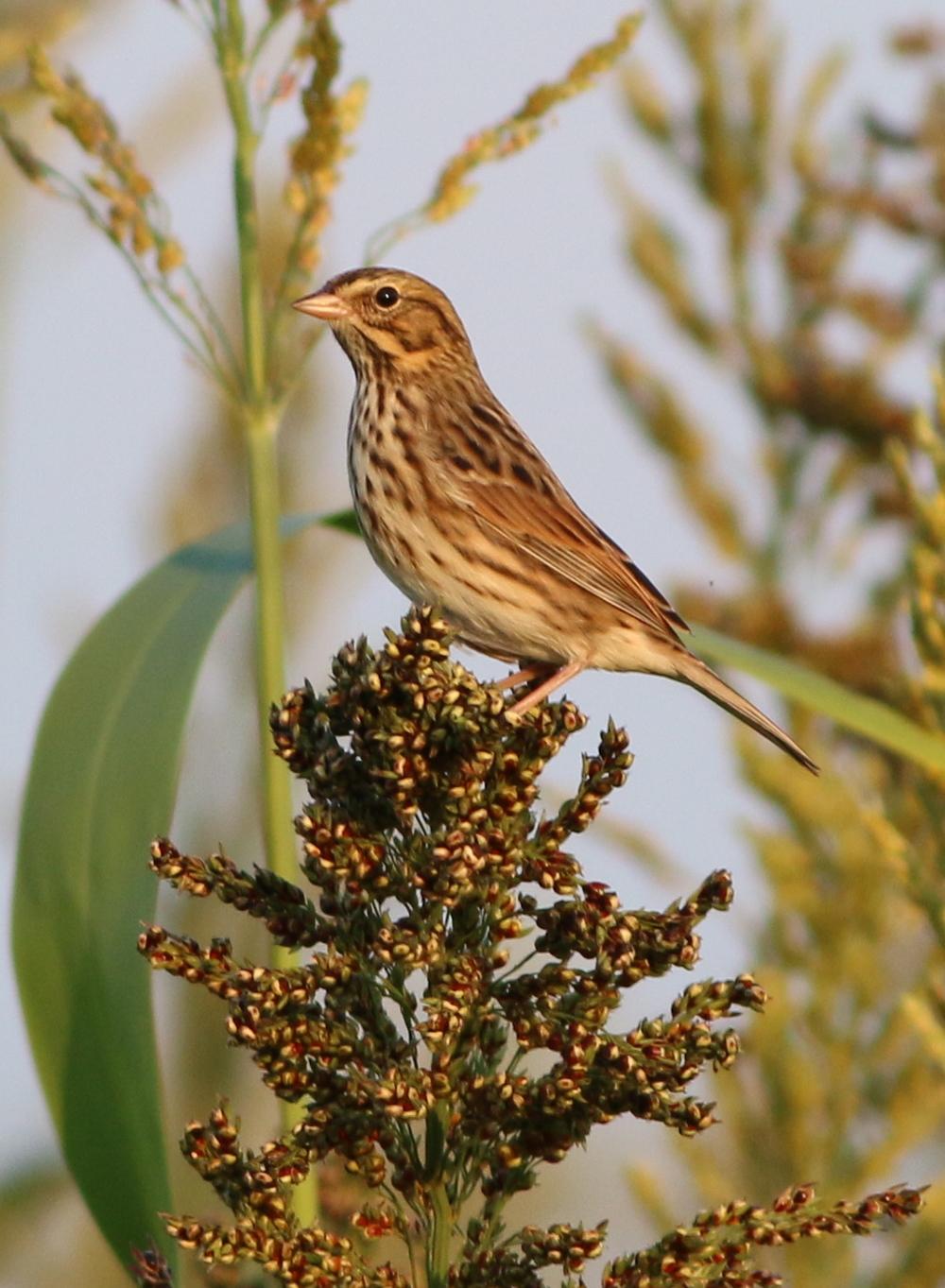 "Savannah Sparrow, ""Passerculus sandwichensis"""