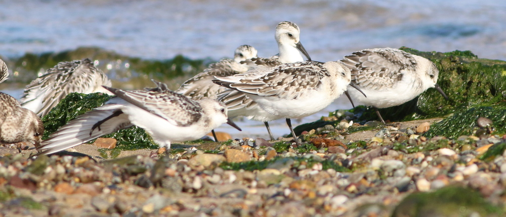 Sanderlings and White-rumped Sandpiper (the smaller one)