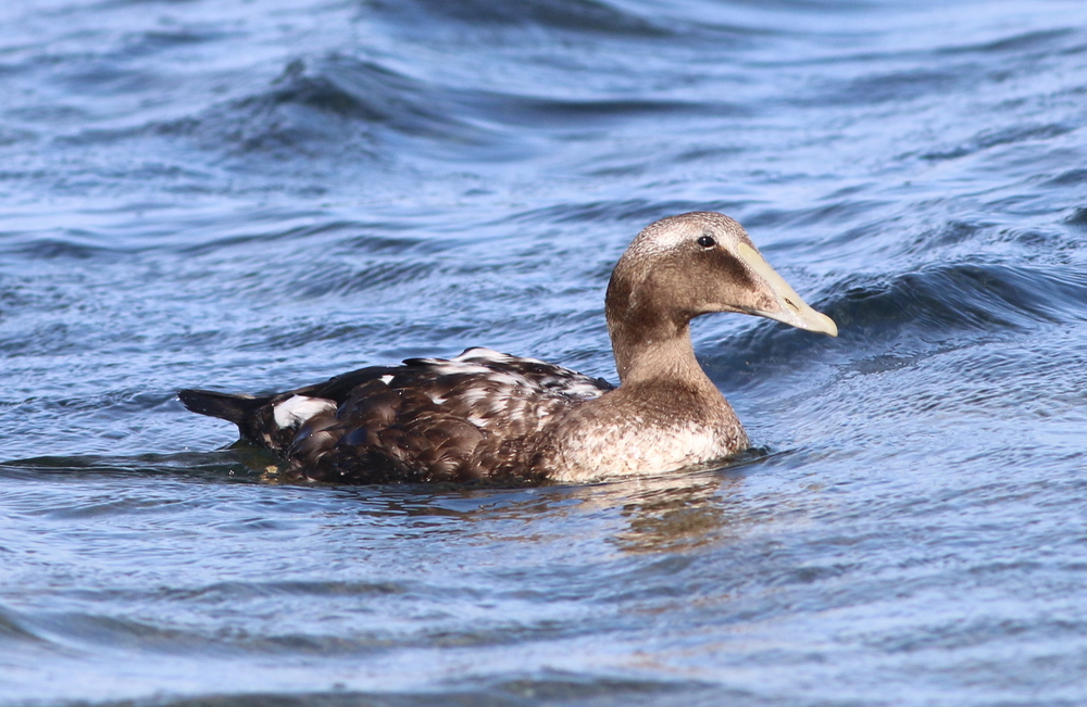 Juvenile Common Eider