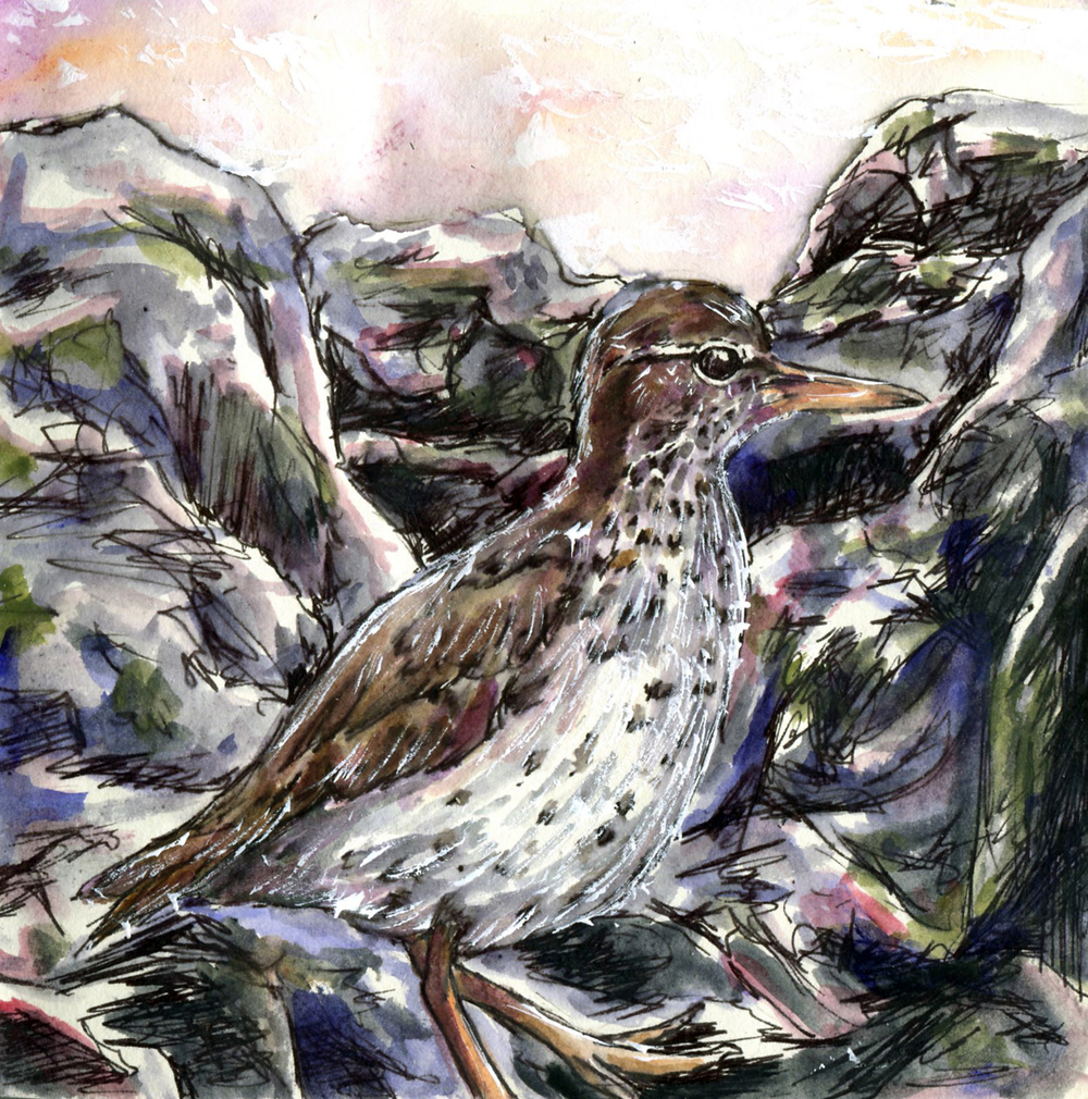 23. Spotted Sandpiper