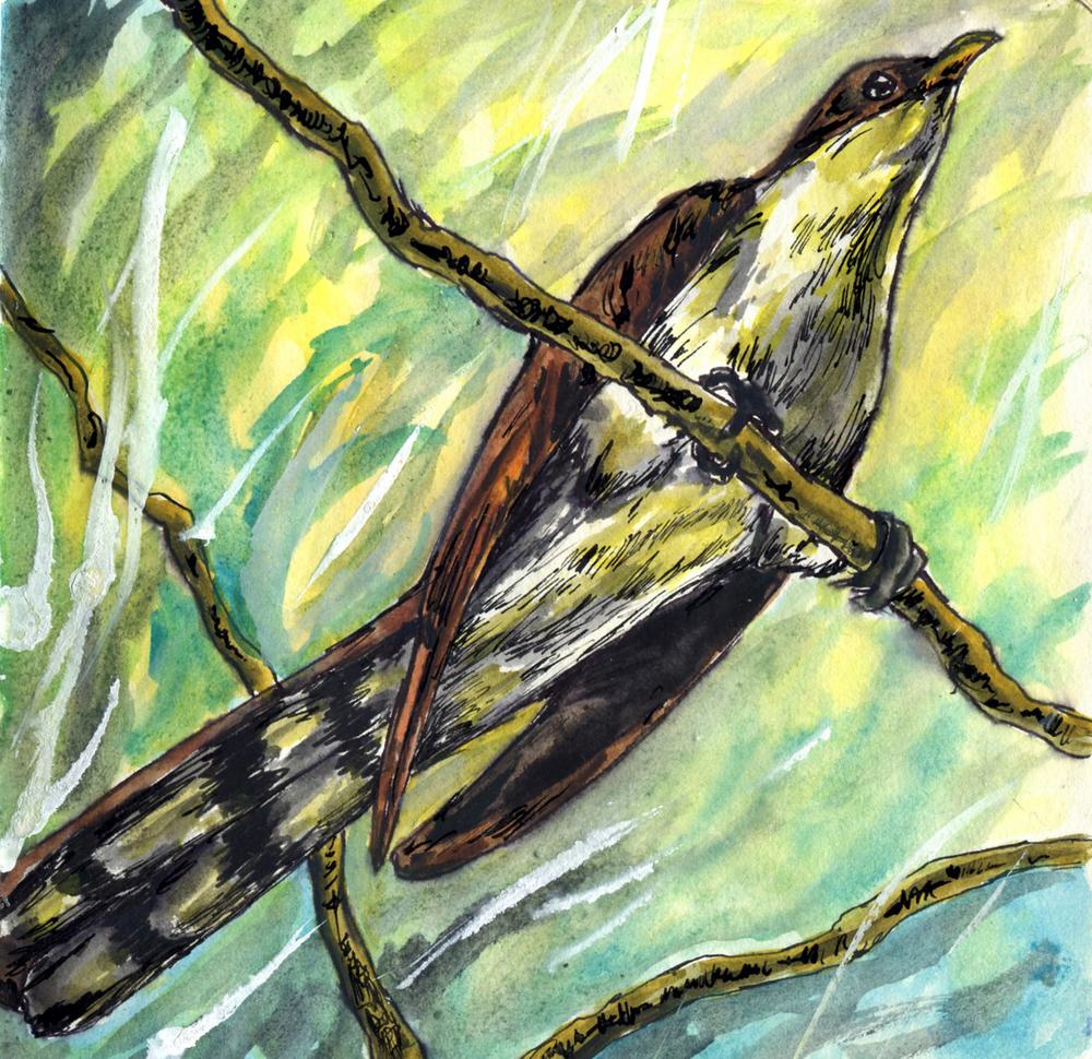 31. Yellow-billed Cuckoo