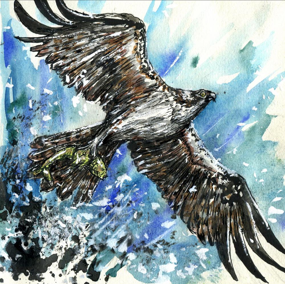 36. Osprey