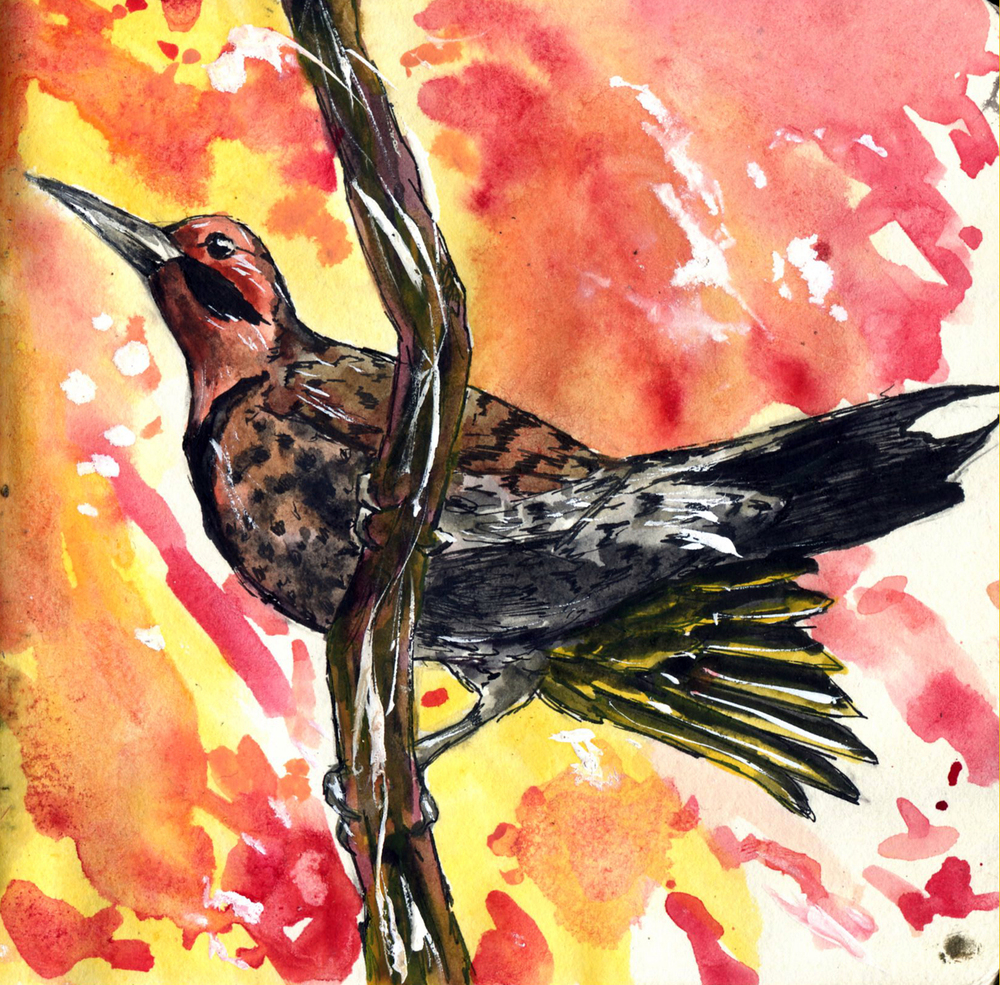 43. Northern Yellow-shafted Flicker