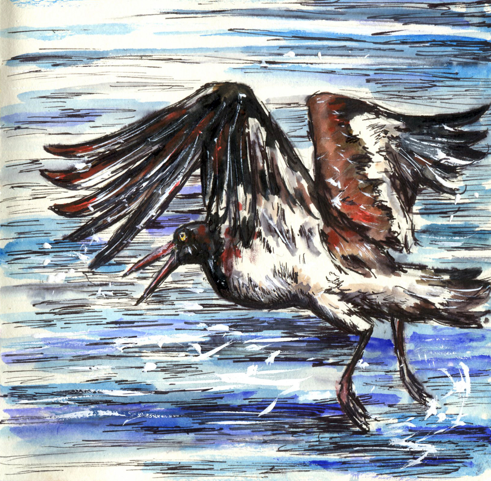 46. American Oystercatcher