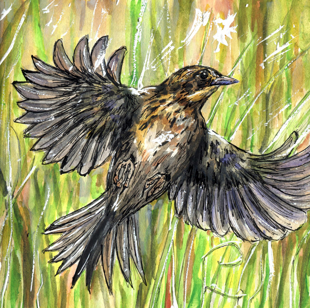 57. Saltmarsh Sparrow