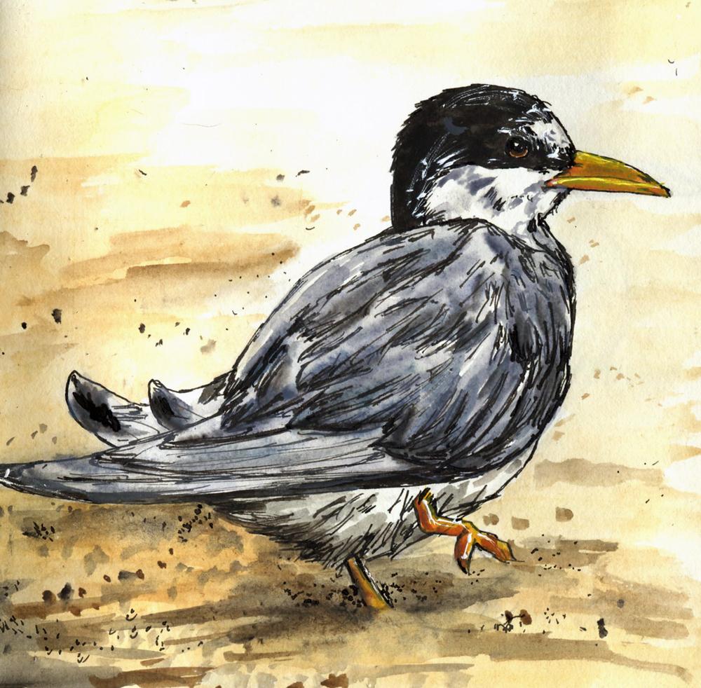 58. Least Tern