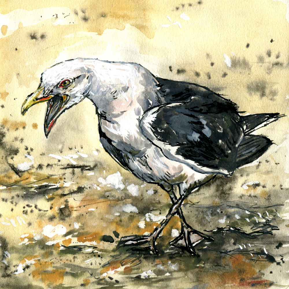 70. Great Black-backed Gull