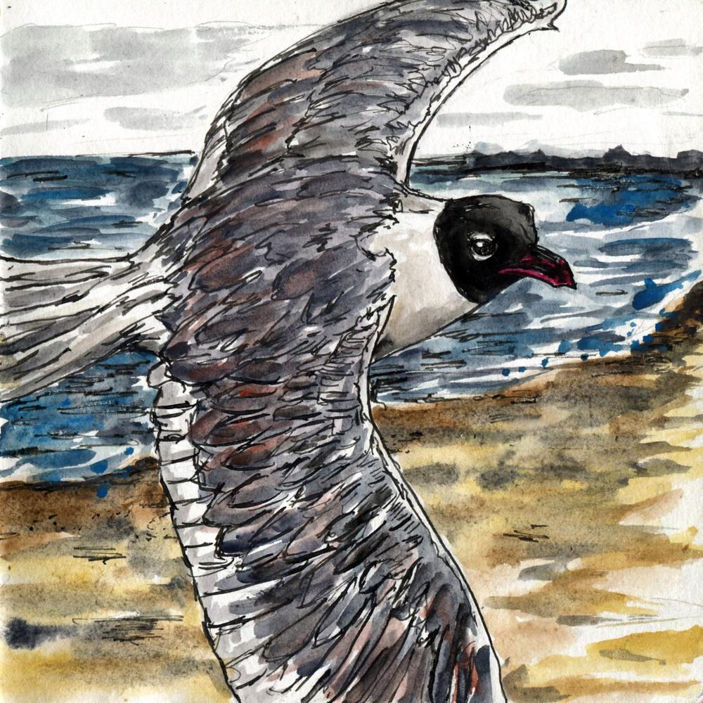 72. Laughing Gull