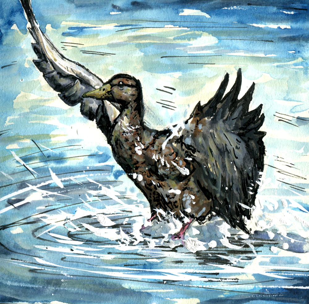 86. American Black Duck