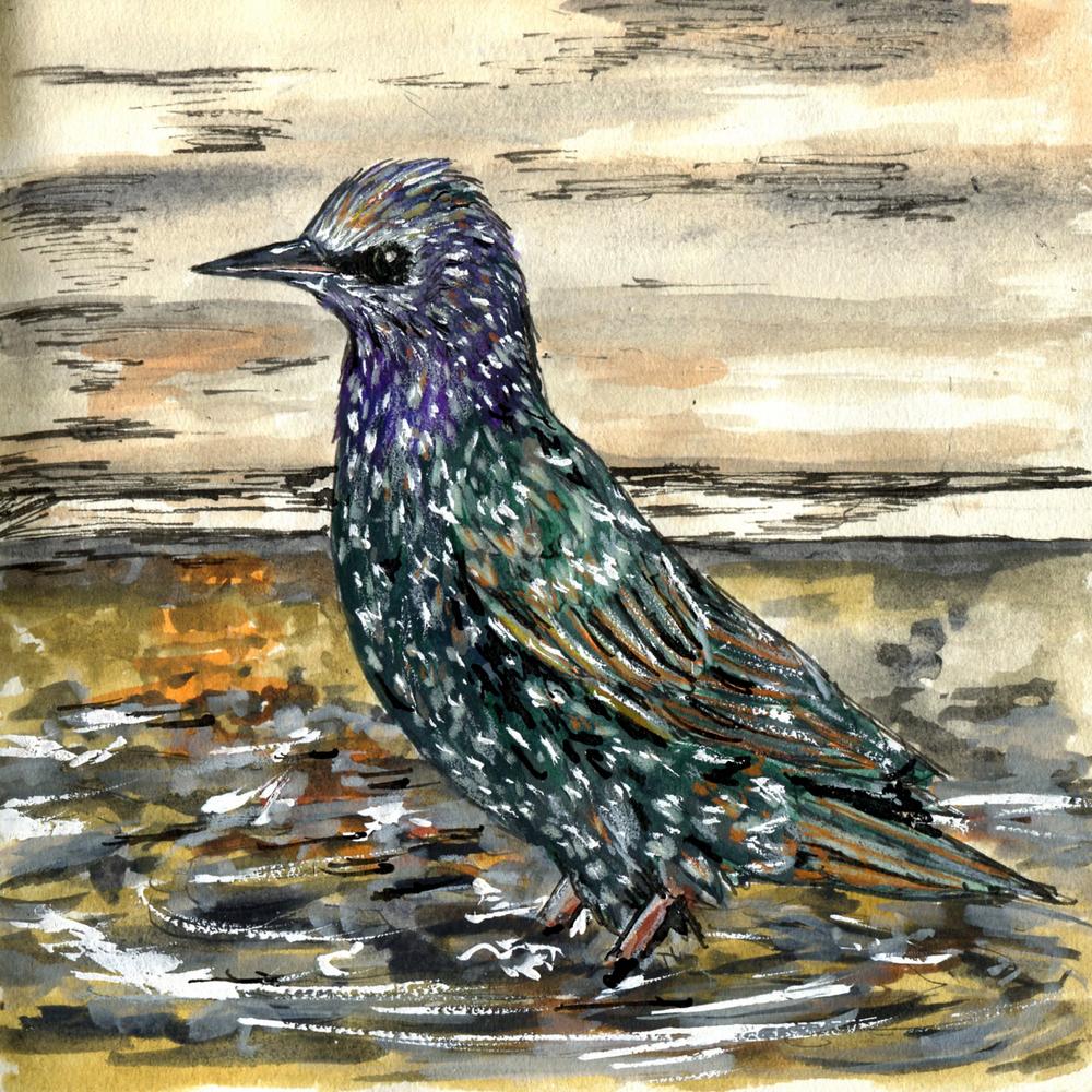 97. European Starling