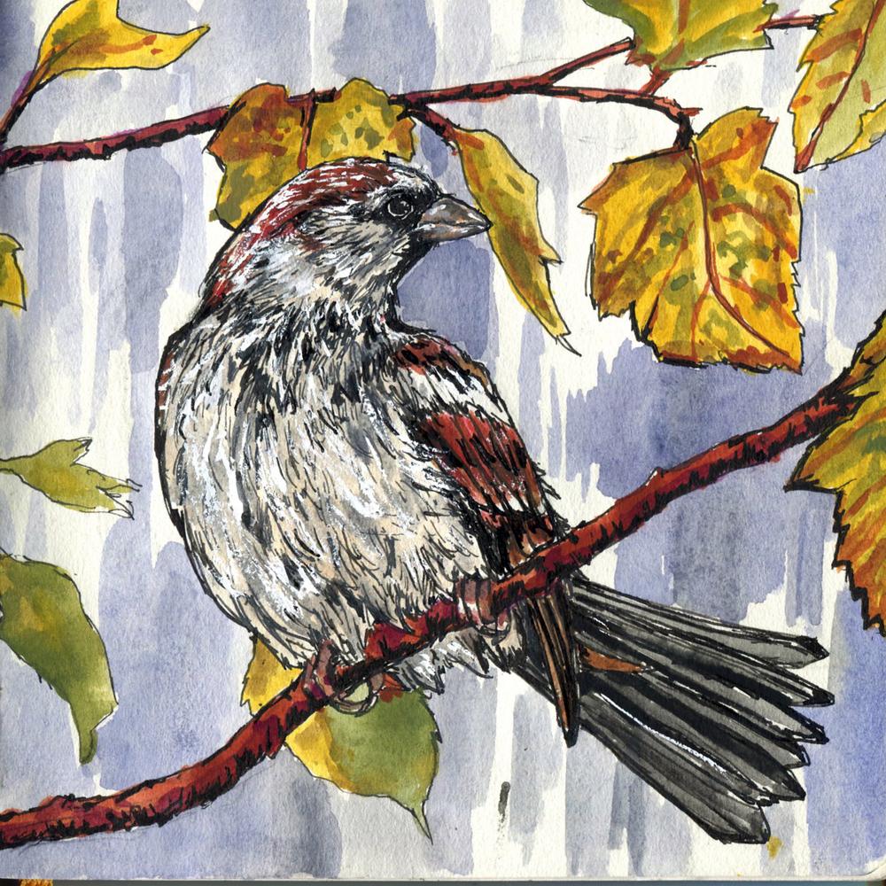 98. House Sparrow