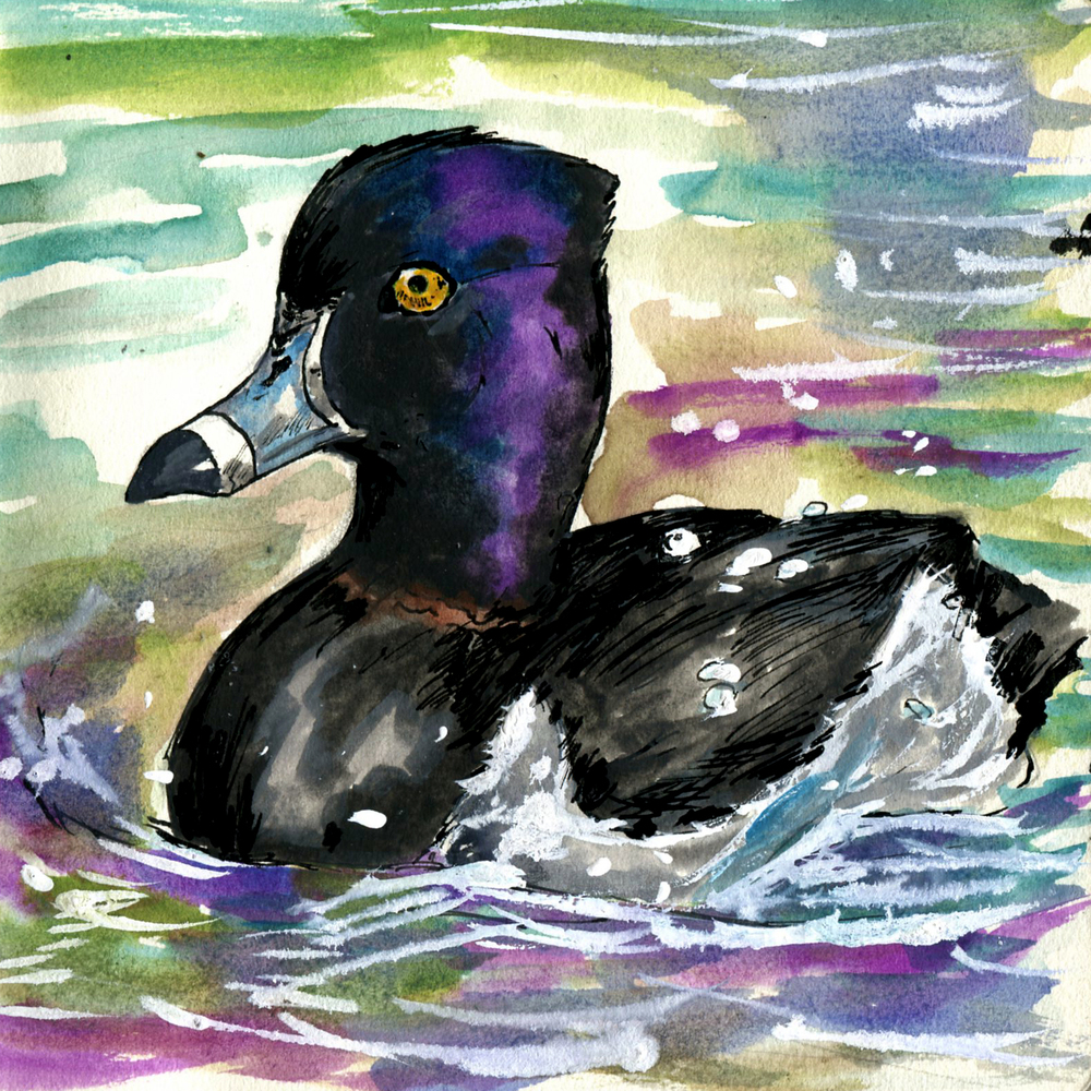 102. Ring-necked Duck