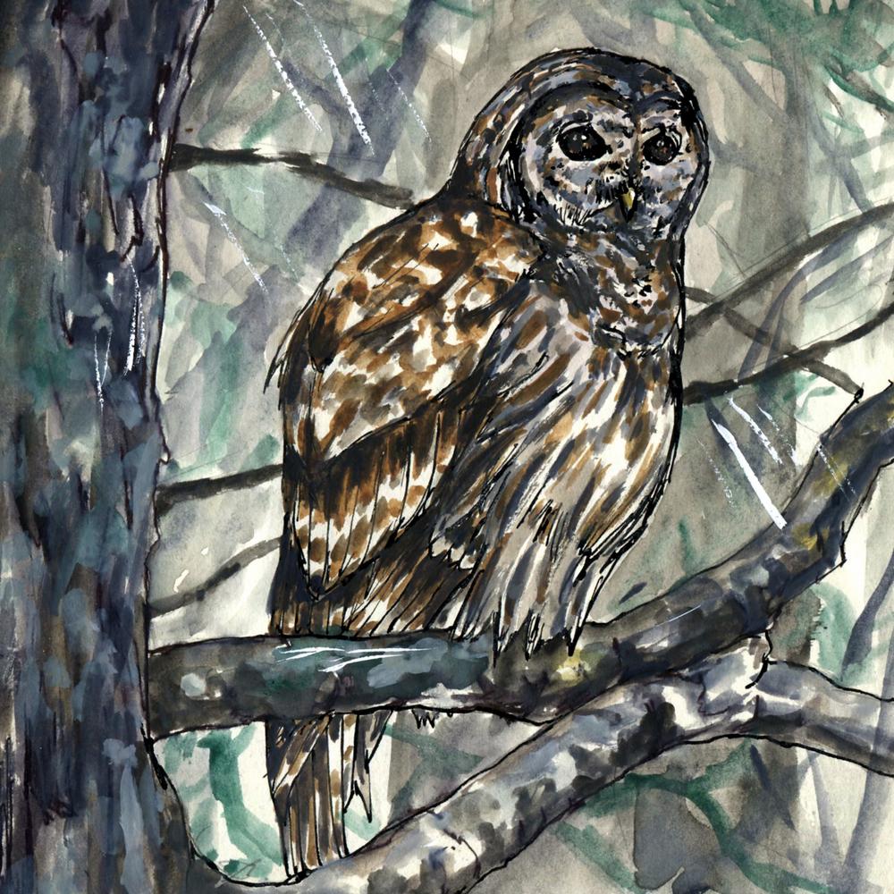112. Barred Owl