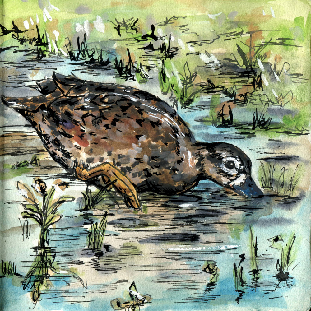 130. Blue-winged Teal