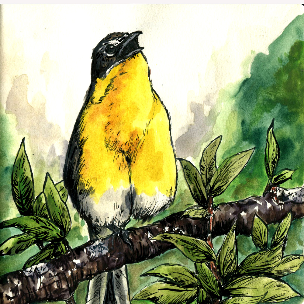 309. Yellow-breasted Chat