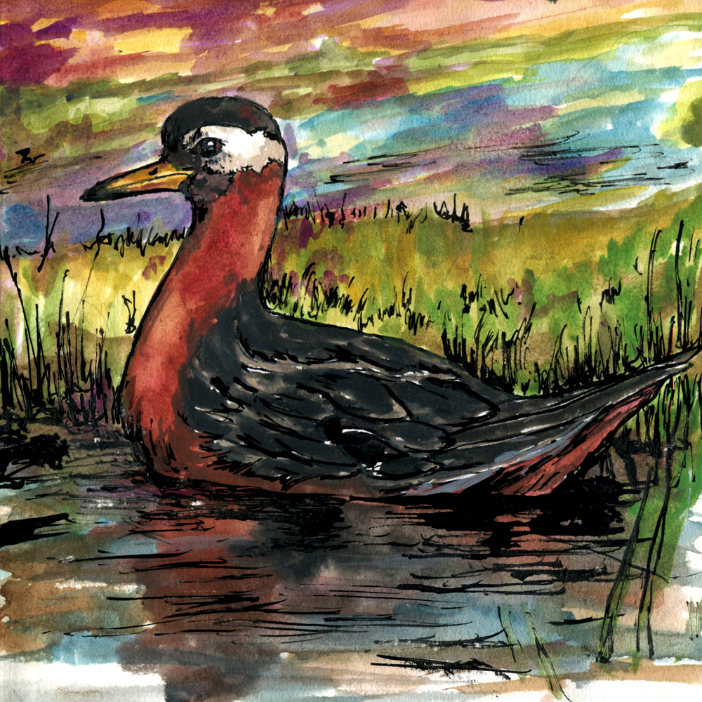 325. Red Phalarope