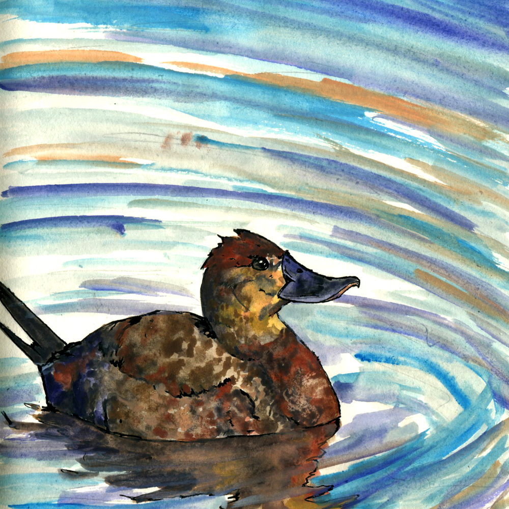 218. Ruddy Duck