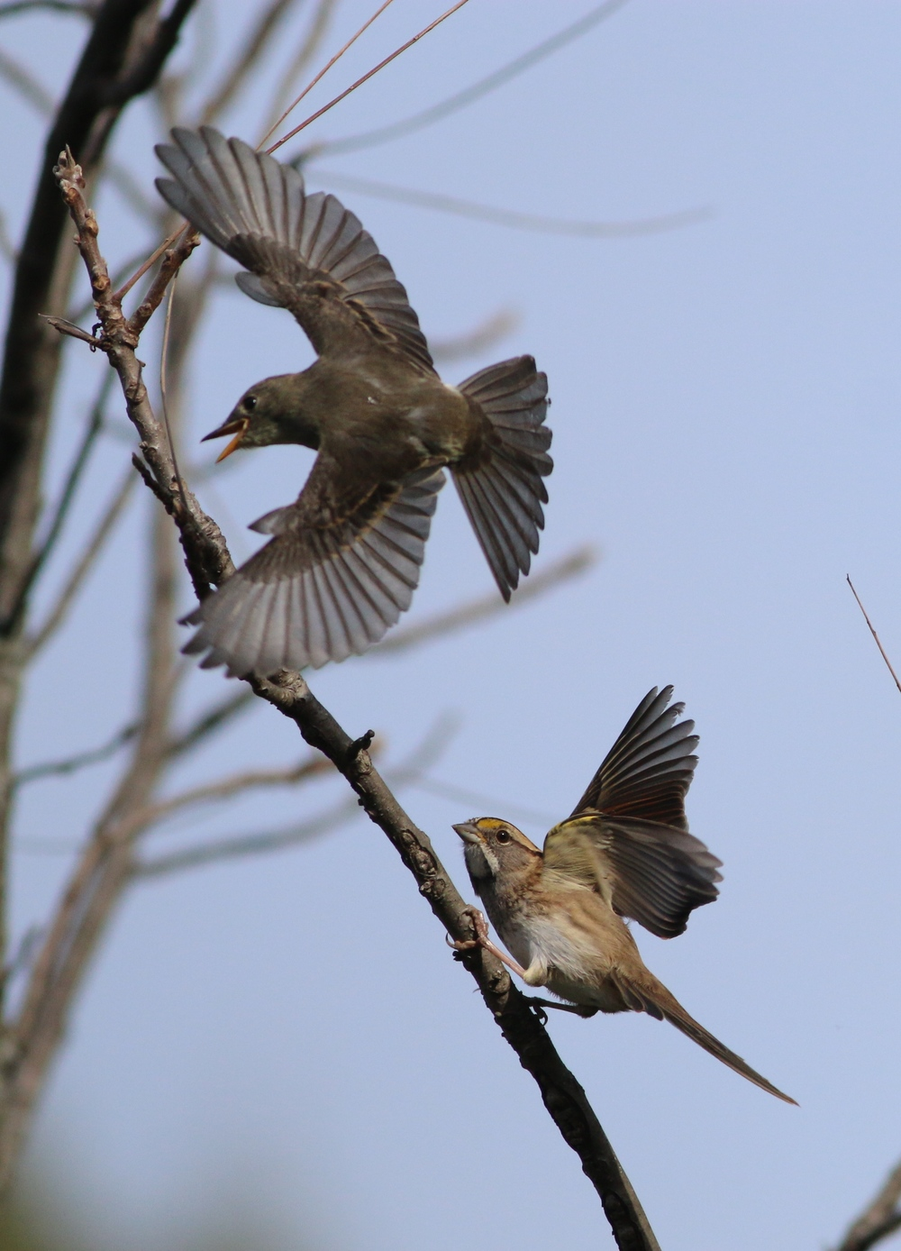 Empidonax vs White-throated Sparrow
