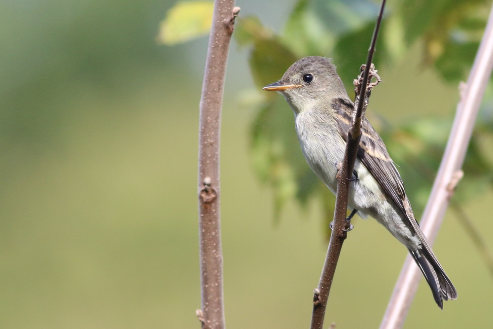 Empidonax Flycatcher