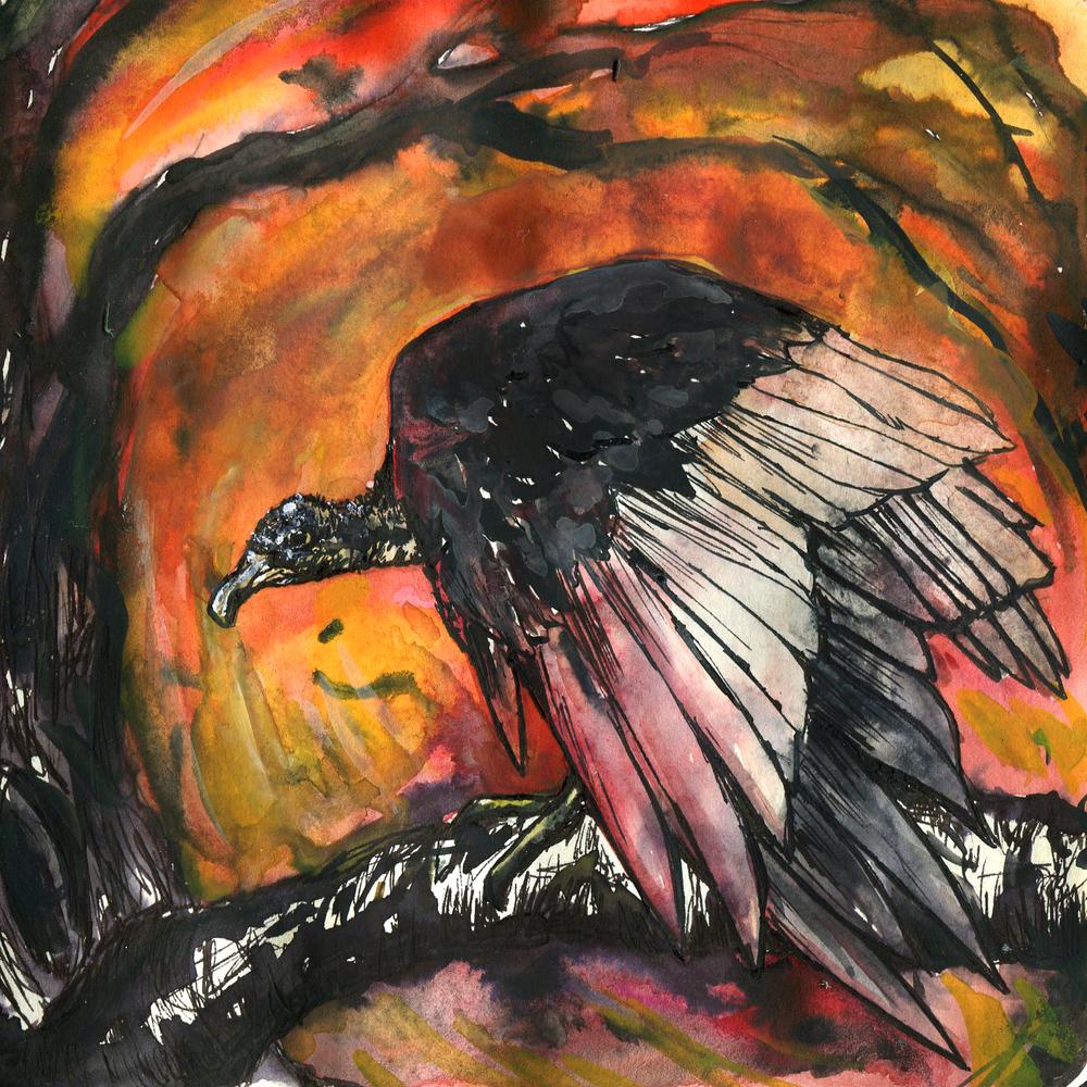 127. Black Vulture