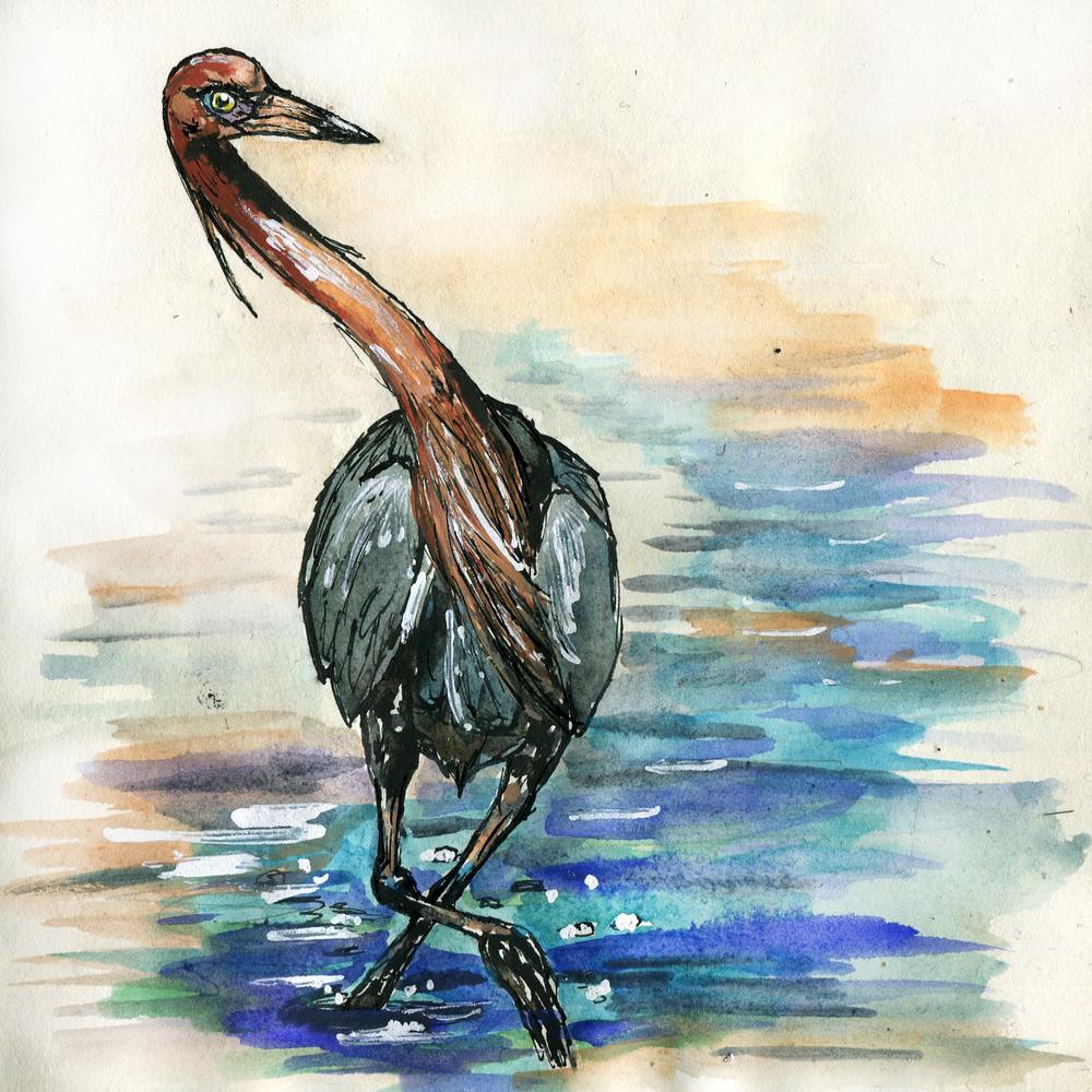 291. Reddish Egret