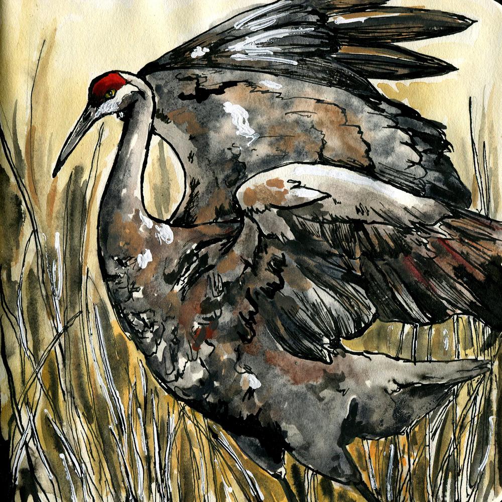 186. Sandhill Crane