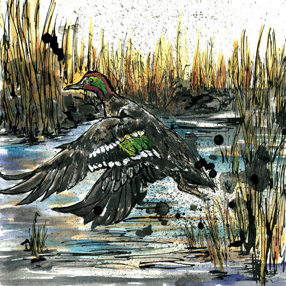 126. Green-winged Teal