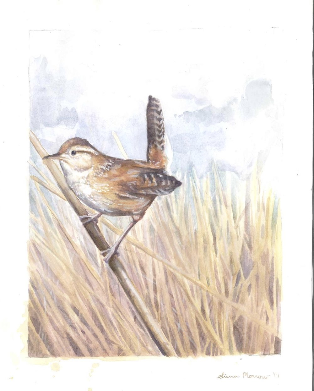 Marsh Wren Hutton Lake, WY