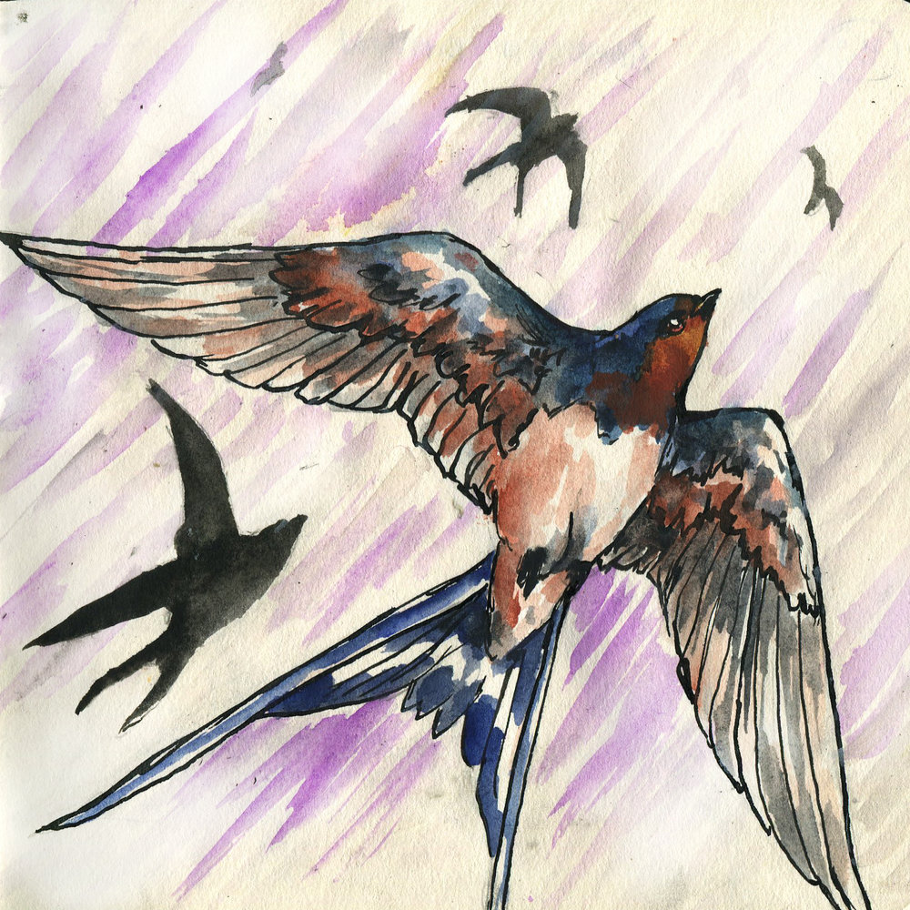 154. Barn Swallow