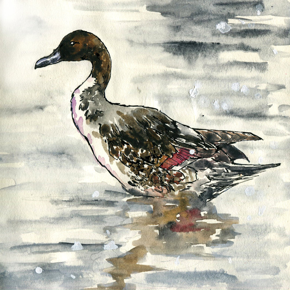215. Northern Pintail