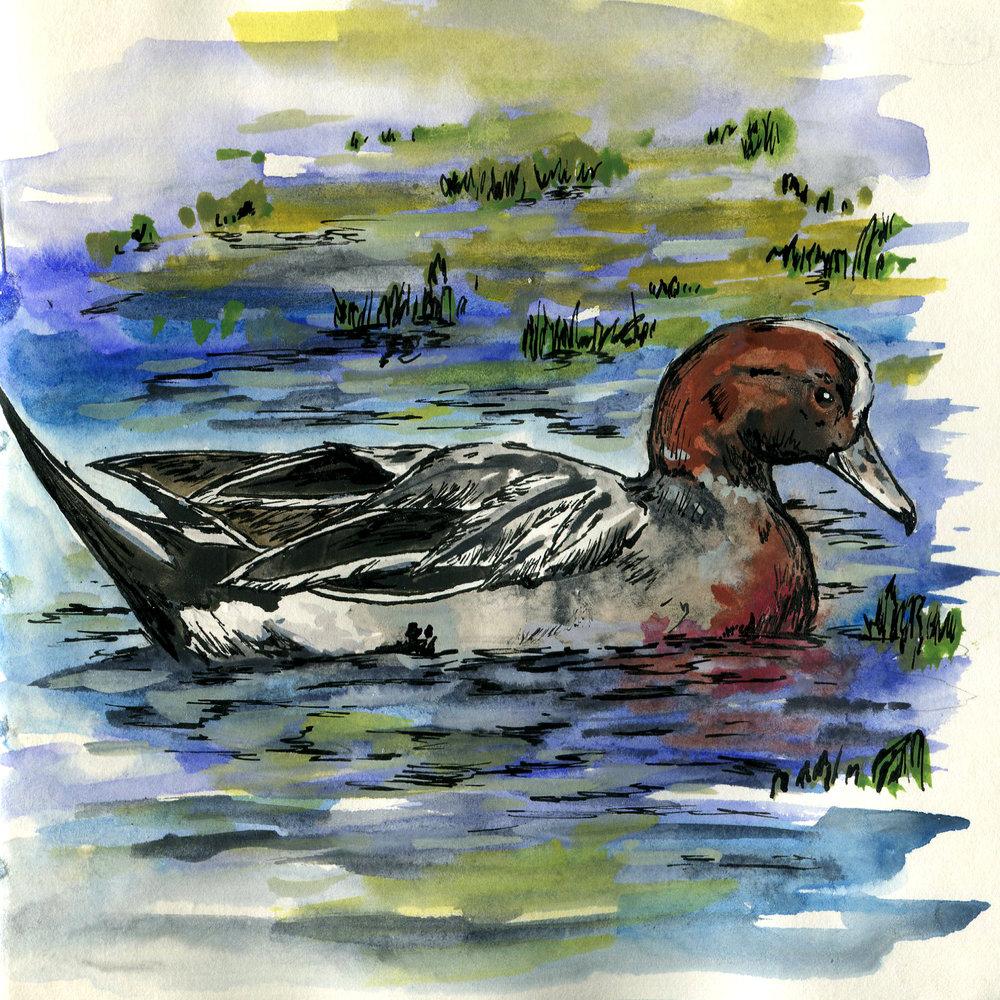 257. Eurasian Wigeon