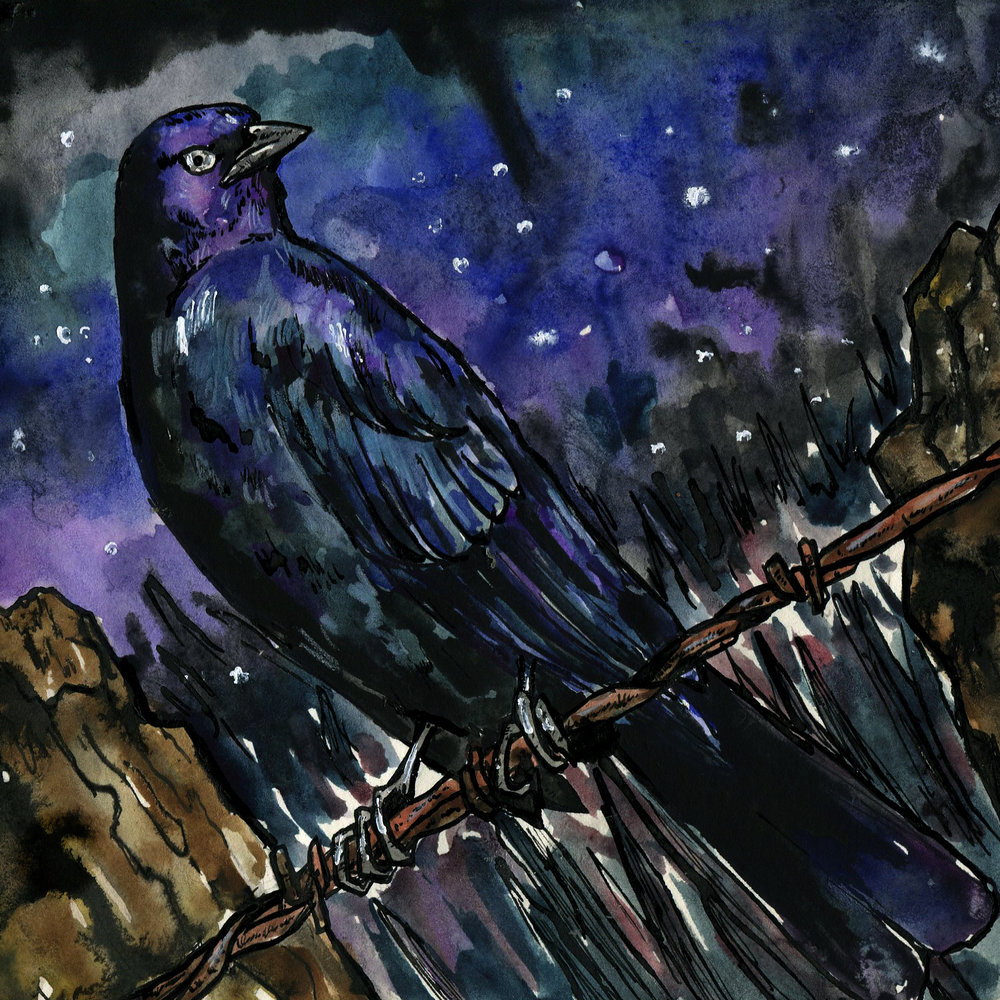 361. Brewer's Blackbird