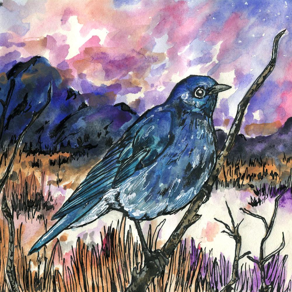 410. Mountain Bluebird