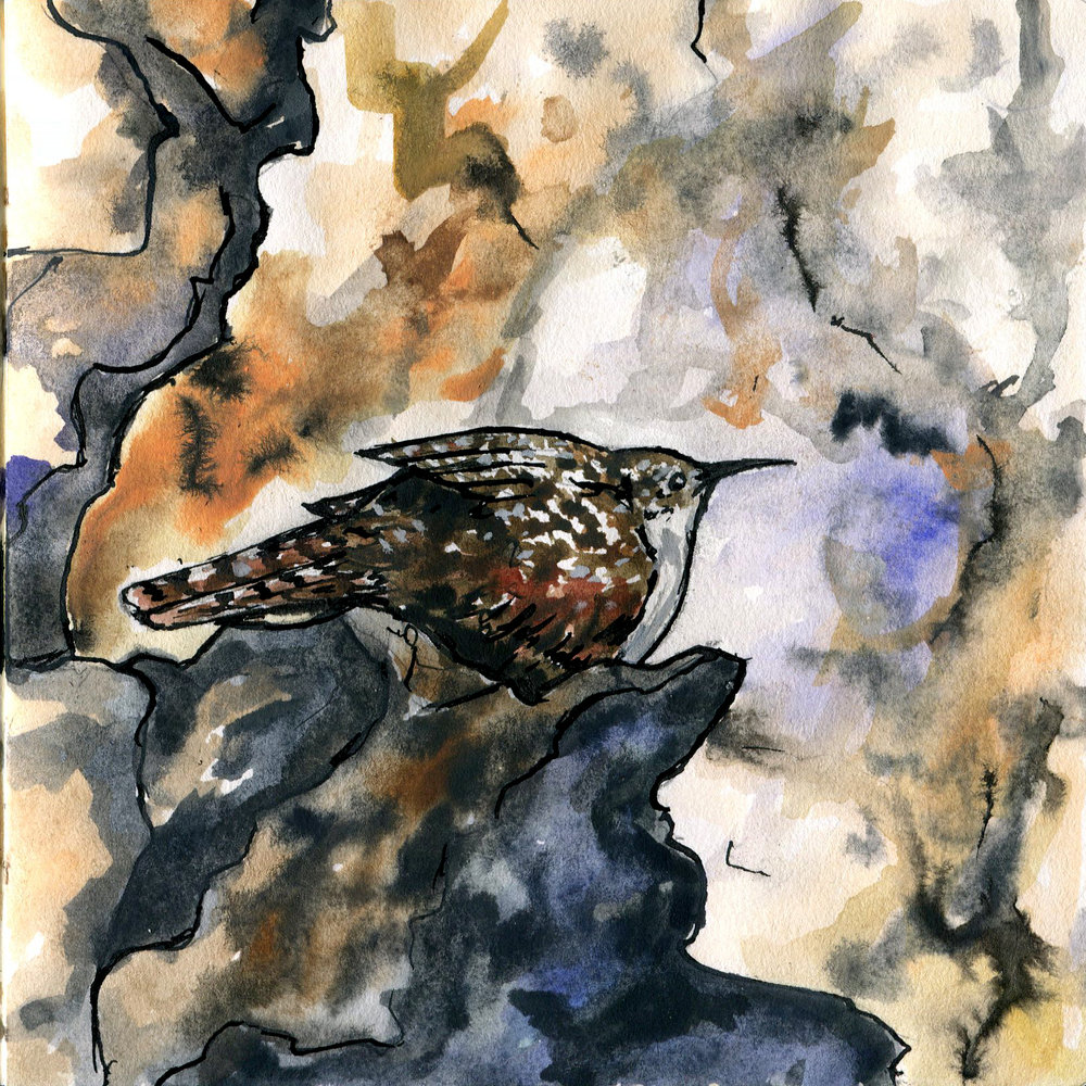 411. Canyon Wren