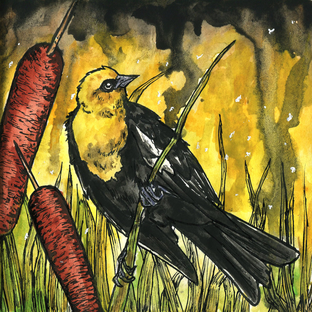 414. Yellow-headed Blackbird