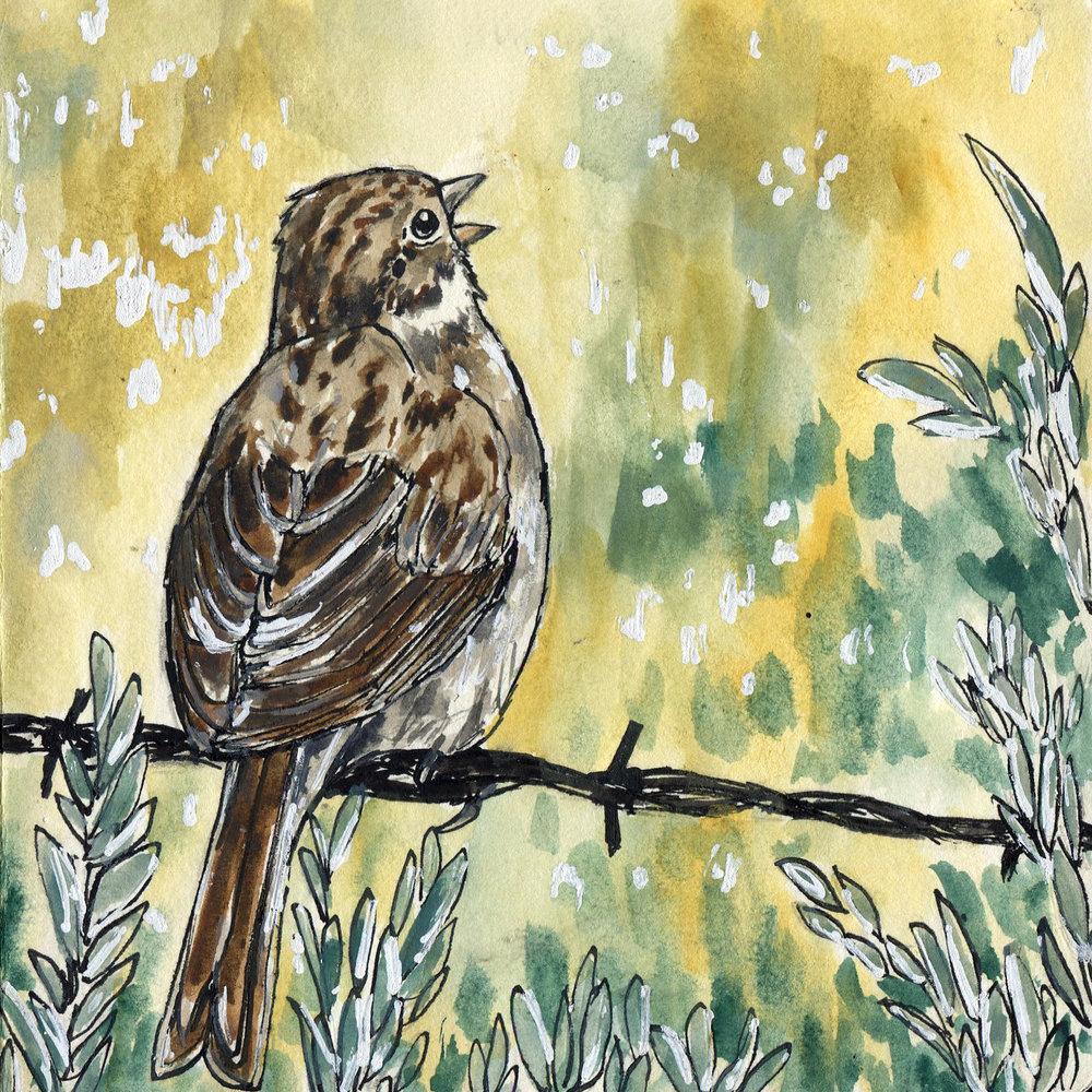 456. Brewer's Sparrow