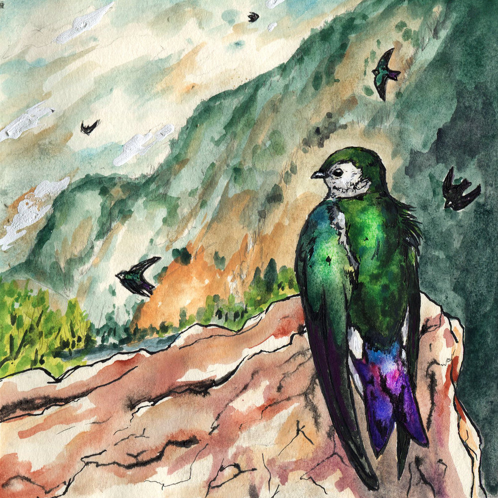 459. Violet-green Swallow