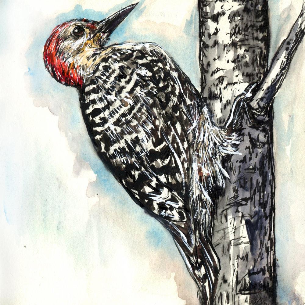 83. Red-bellied Woodpecker