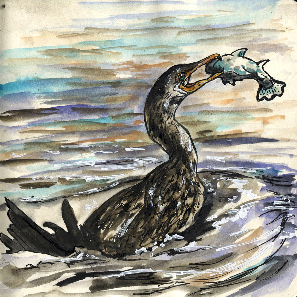 422. Neotropic Cormorant