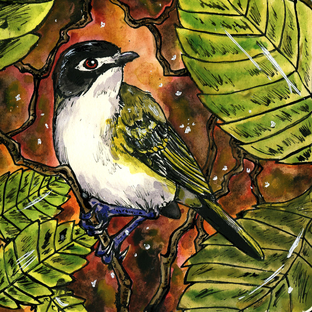 462. Black-capped Vireo