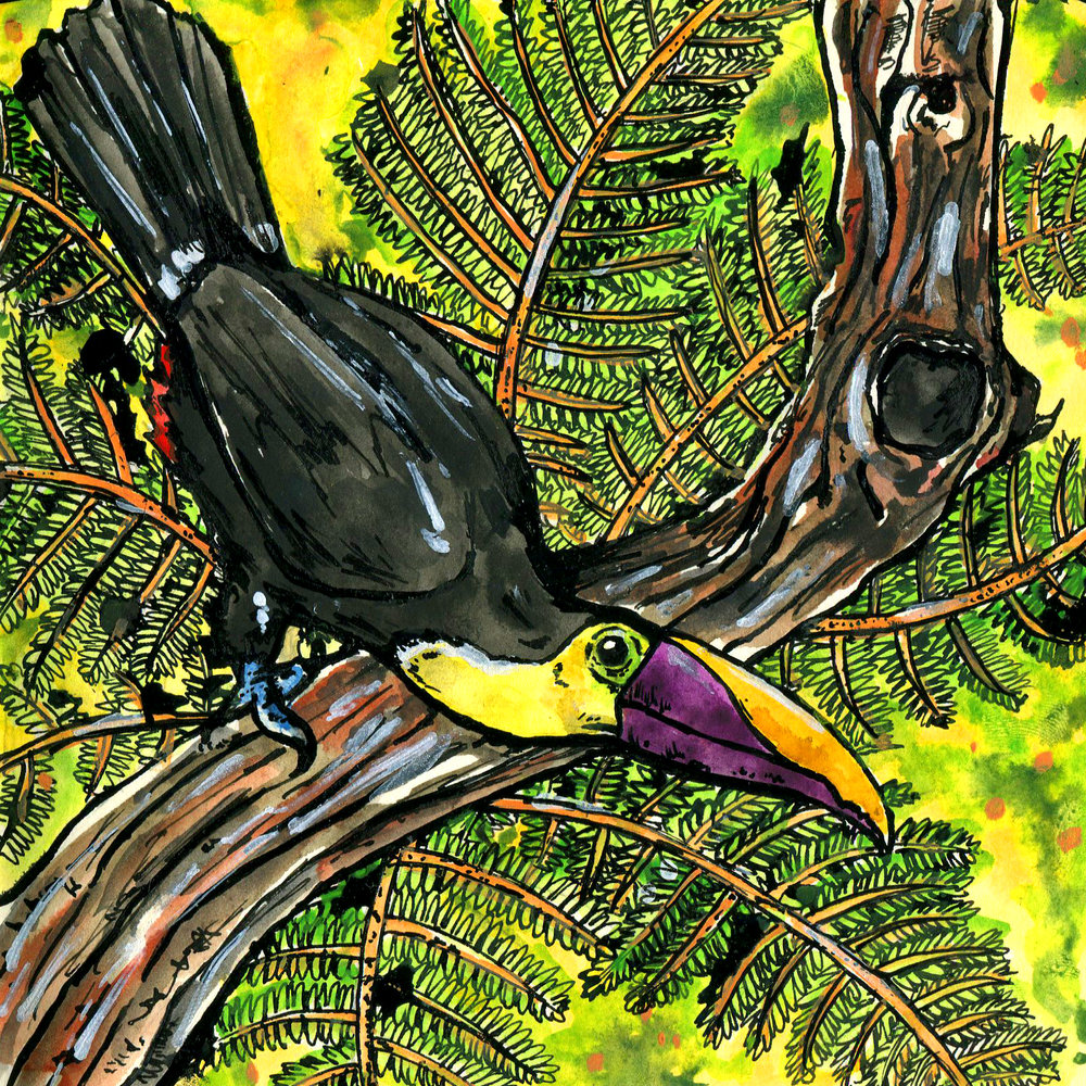 468. Yellow-throated Toucan