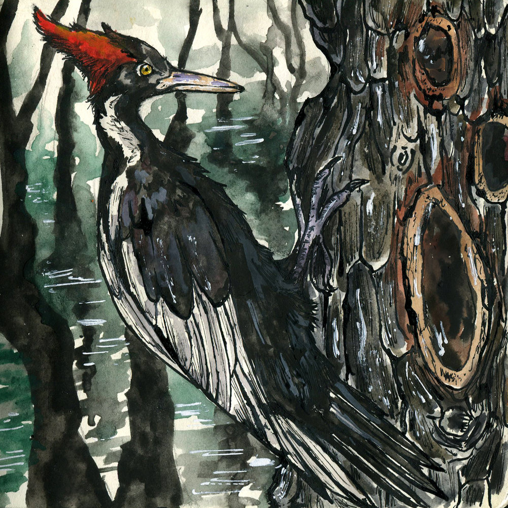 6E. Ivory-billed Woodpecker