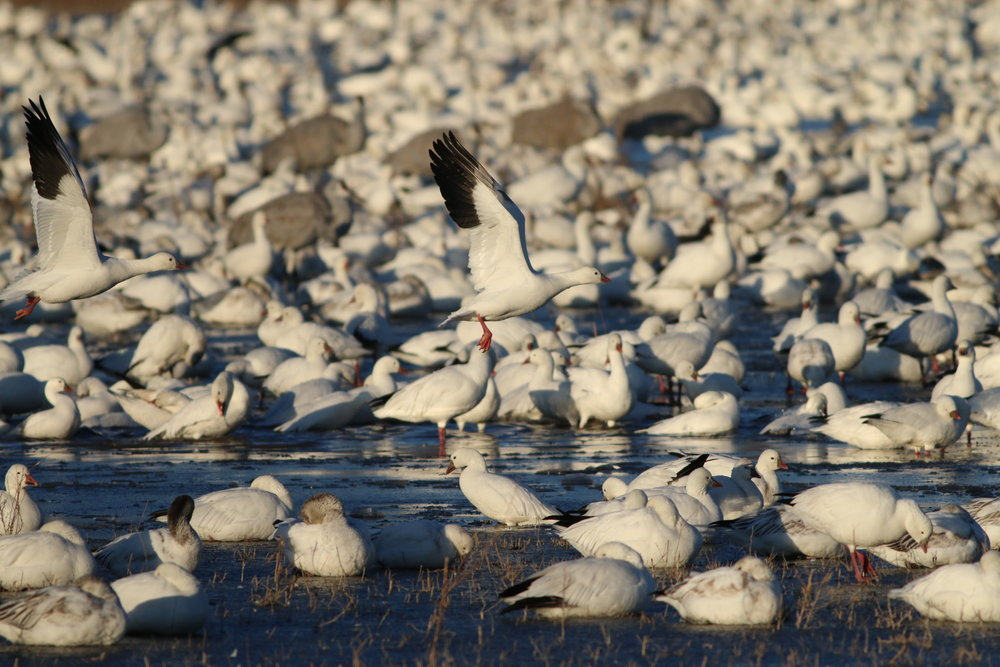There were so many Snow Geese the ground seemed to be covered in snow. Ross's Geese ( Anser rossi)  were also interspersed amongst their larger cousins.